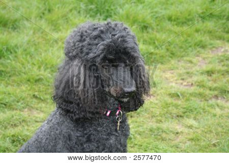 Perfect Poodle