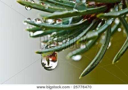 Water Drop On Spruce
