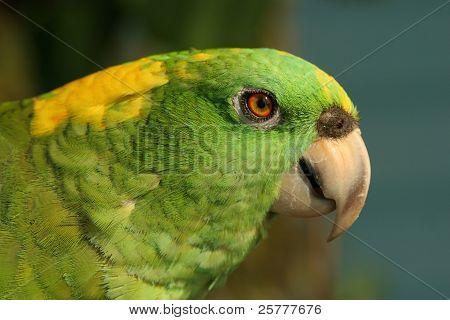 Closeup gelb genannt Papagei