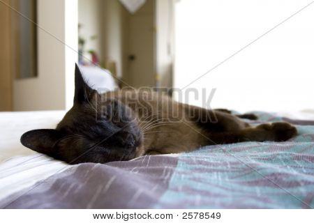 Tonkinese Cat schlafen