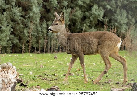 it is a red deer
