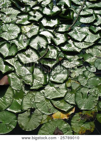 Lilly Pads on a Pond