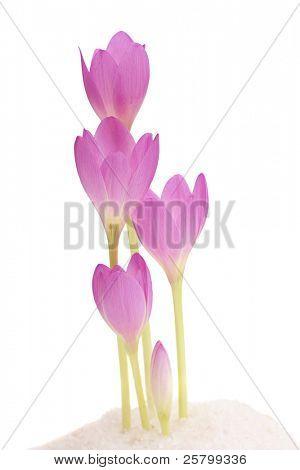Frühlingsblumen rosa weiß