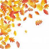 Oak, Maple, Wild Ash Rowan Leaves Vector, Autumn Foliage On White Background. Red Orange Yellow Ash  poster