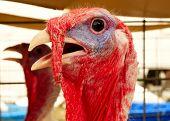 Portrait Turkey, Meleagris Gallopavo, At The Farm Agriculture Bird Head Closeup poster
