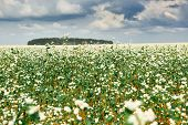 flower field, flowering buckwheat and forest far on the horizon, beautiful bright sky with clouds, b poster