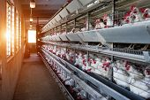 Modern Farm For Growing Hens For Hens, Sun, Poultry Farm, Factory poster