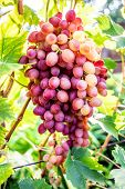 Blue Grapes In A Vineyard Close Up. Ripe Red Wine Grapes Pink Grapes In A Vineyard Close Up. Ripe Re poster