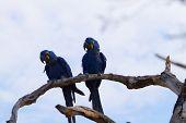 Couple Of Hyacinth Macaw, Brazilian Wildlife poster