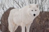 Wild Alaskan Tundra Wolf. Close Up. Canis Lupus Arctos. Polar Wolf Or White Wolf. poster