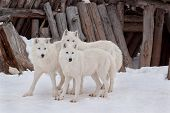 Three Wild Alaskan Tundra Wolfs Are Playing On White Snow. Canis Lupus Arctos. Polar Wolf Or White W poster