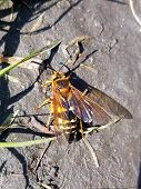 A Close Up Of An Eastern Cicada Killer, Black And Yellow Stripes With Wings poster