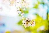 Beautiful Cherry Blossom Sakura In Spring Time Over Blue Sky.cherry Blossom In Full Bloom. poster