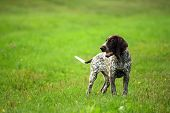 German Shorthaired Pointer, Kurtshaar One Brown Spotted Puppy Walking On The Green Grass In The Even poster