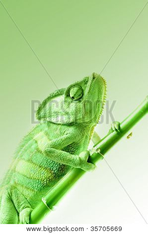 Chameleon on flower.