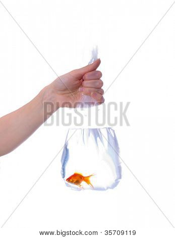 Package with goldfish in hands. Isolation
