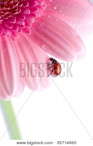 small red Ladybird on flower