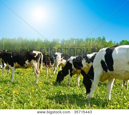 cow in a pasture with cloudy blue sky