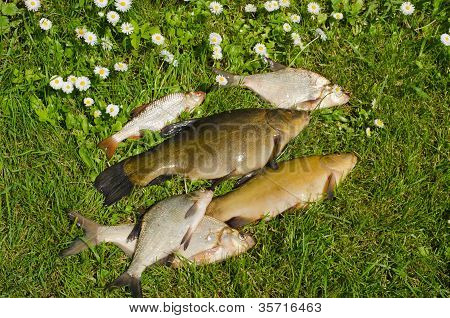 Lake Fishes Tench, Bream, Roach Catch on Green Grass