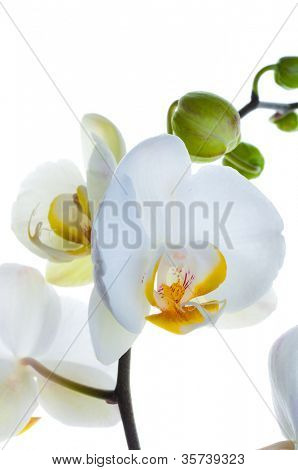White orchid flower on white.