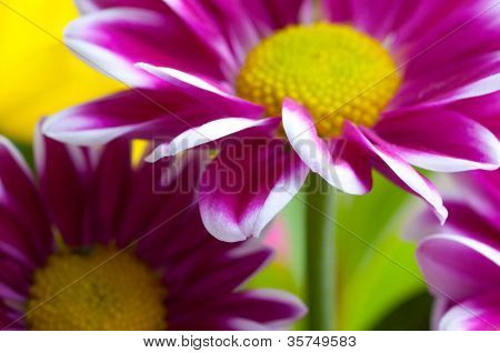 Beautiful spring flowers - chrysanthemum