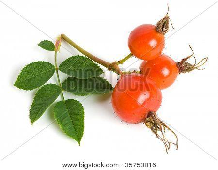 Dog rose (Rosa canina) fruits on a white background