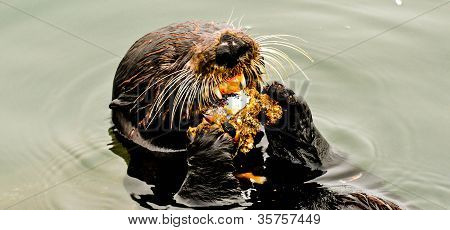 Sea otter eating abalone