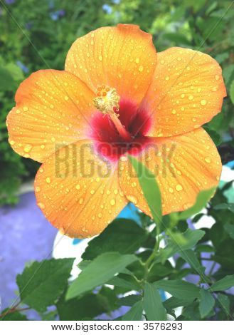 Pretty Hibiscus Covered With Raindrops