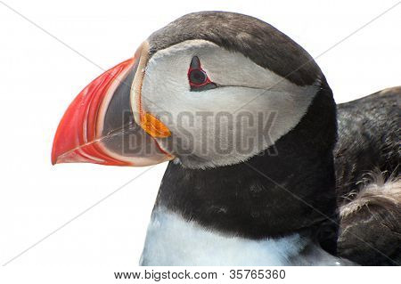 Detailed portrait of the puffin (Fratercula arctica) against a white background. West Fjords in the Iceland