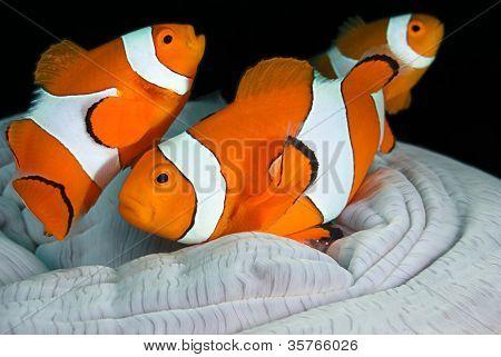 Clown fish family, Amphiprion ocellaris, hiding in host sea anemone