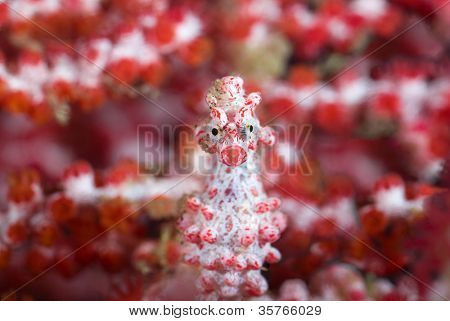 Pygmy seahorse in front of soft corals looking directly at camera
