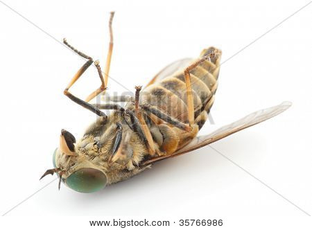 Dead horsefly isolated on white background without shadows, macro shot