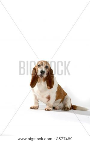Brown And White Basset Hound Sitting Against A High Key Background