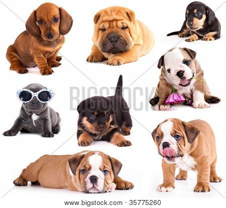 Puppies of different breeds, Dachshund, Shar Pei, Rottweiler, Bulldog, French Bulldog.