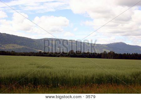 Feed Crop