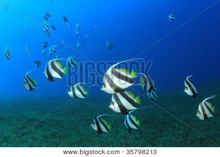 School of Tropical Fish: Red Sea Bannerfish
