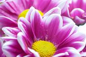 Beautiful spring flowers - chrysanthemum