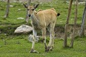 picture of eland  - a young cape eland walking in a grass covered field