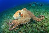 pic of squid  - Big Red Octopus  - JPG