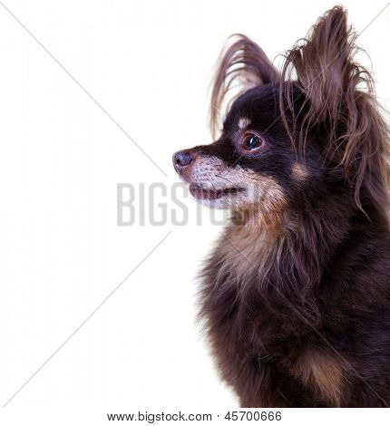 Close-up portrait of old pedigree dog long-haired toy terrier on isolated white background