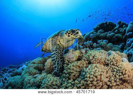 Hawksbill Sea Turtle (Eretmochelys imbricata) on underwater coral reef in ocean