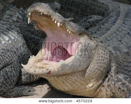 Threatening Florida Alligator