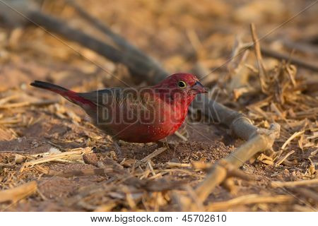 Senegalese Fire Finch