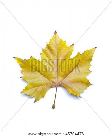 Autumn sycamore leaf