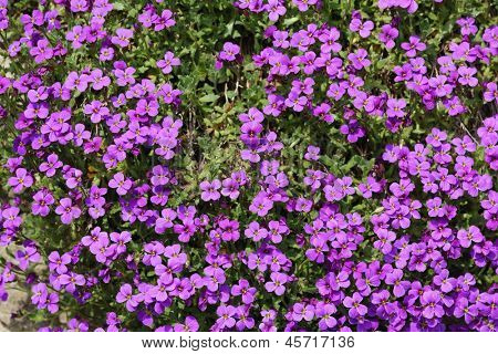 Pink flowerbed from brassicaceae family