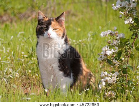 Beautiful calico cat sitting in grass next to wild blackberries in full bloom