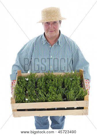 Female senior gardener wearing straw hat holding wooden crate full of aspic seedlings shot on white