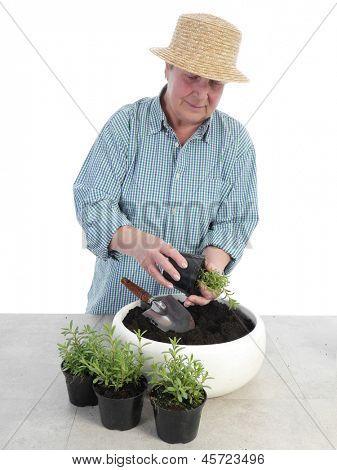 Female senior gardener wearing straw hat bedding out aspic seedlings