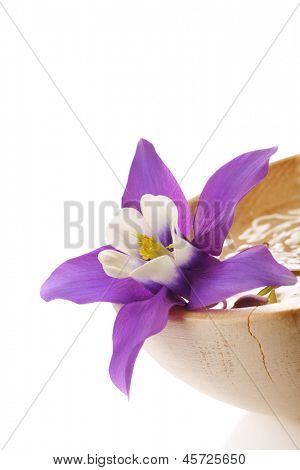 Beautiful Aquilegia flower, mini star variety. placed in wooden water bowl.