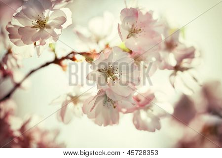 Foto vintage das flores de cerejeira branca na primavera